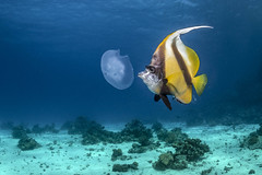 Gotta Abu Ramada (moments in nature by Antje Schultner) Tags: red sea rotes meer gotta abu ramada divesite tauchplatz qualle jellyfish bannerfish wimpelfisch canon 7dmarkii