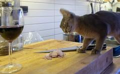 No Good Onion (peter_hasselbom) Tags: cat cats kitten kittens abyssinian 15weeksold kitchen countertop onion mixedlight fujifilm
