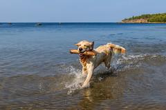 3K4A6201 (olailagus) Tags: dogs labradorretriever labrador retriever goldenretriever golden finland swimming sea coast koira hund kultainennoutaja kultsu lapukka lmaxmo västerö ryssberget