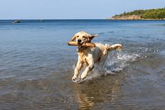 3K4A6200 (olailagus) Tags: dogs labradorretriever labrador retriever goldenretriever golden finland swimming sea coast koira hund kultainennoutaja kultsu lapukka lmaxmo västerö ryssberget