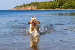 3K4A6199 (olailagus) Tags: dogs labradorretriever labrador retriever goldenretriever golden finland swimming sea coast koira hund kultainennoutaja kultsu lapukka lmaxmo västerö ryssberget