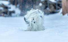 Shaking Off The Snow (rigpa8) Tags: dogs snow play winter whiteonwhite whiteout animals ngysaex
