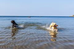 3K4A6176 (olailagus) Tags: dogs labradorretriever labrador retriever goldenretriever golden finland swimming sea coast koira hund kultainennoutaja kultsu lapukka lmaxmo västerö ryssberget