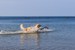 3K4A6169-2 (olailagus) Tags: dogs labradorretriever labrador retriever goldenretriever golden finland swimming sea coast koira hund kultainennoutaja kultsu lapukka lmaxmo västerö ryssberget