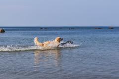 3K4A6169 (olailagus) Tags: dogs labradorretriever labrador retriever goldenretriever golden finland swimming sea coast koira hund kultainennoutaja kultsu lapukka lmaxmo västerö ryssberget
