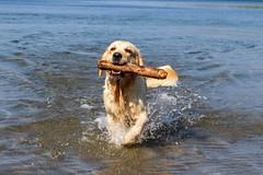 3K4A6161 (olailagus) Tags: dogs labradorretriever labrador retriever goldenretriever golden finland swimming sea coast koira hund kultainennoutaja kultsu lapukka lmaxmo västerö ryssberget
