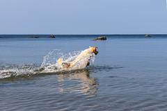 3K4A6146 (olailagus) Tags: dogs labradorretriever labrador retriever goldenretriever golden finland swimming sea coast koira hund kultainennoutaja kultsu lapukka lmaxmo västerö ryssberget