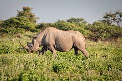 Rhino & Grass (orkomedix) Tags: canon 550d sigma 18250f3563dcoshsm park phototrip rhino rhinoceros grass center horn namibia etosha namutoni