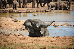 One Happy Elephant (orkomedix) Tags: canon 550d sigma 18250f3563dcoshsm southafrica addo elephant park baby playing phototrip waterhole water happy fun outdoor