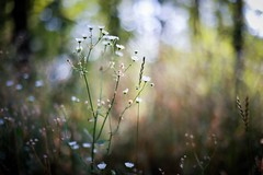dry-flower bushes (Yuki (8-ballmabelleamie)) Tags: mchenrydamstatepark nature trail plants manualfocused