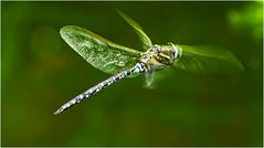 Libelle im Flug (robert.pechmann) Tags: libelle dragonfly macro makro flug fly insekt green nikkor nature