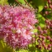 spirea flowers and flower buds