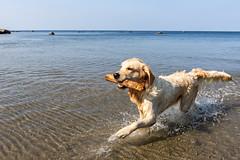 3K4A6202 (olailagus) Tags: dogs labradorretriever labrador retriever goldenretriever golden finland swimming sea coast koira hund kultainennoutaja kultsu lapukka lmaxmo västerö ryssberget