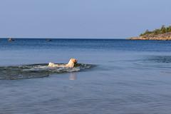 3K4A6193 (olailagus) Tags: dogs labradorretriever labrador retriever goldenretriever golden finland swimming sea coast koira hund kultainennoutaja kultsu lapukka lmaxmo västerö ryssberget