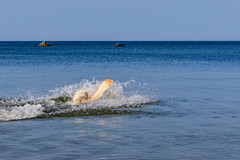 3K4A6192-2 (olailagus) Tags: dogs labradorretriever labrador retriever goldenretriever golden finland swimming sea coast koira hund kultainennoutaja kultsu lapukka lmaxmo västerö ryssberget