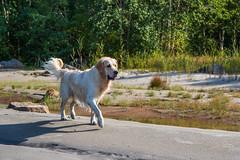 3K4A6186 (olailagus) Tags: dogs labradorretriever labrador retriever goldenretriever golden finland swimming sea coast koira hund kultainennoutaja kultsu lapukka lmaxmo västerö ryssberget