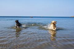 3K4A6175 (olailagus) Tags: dogs labradorretriever labrador retriever goldenretriever golden finland swimming sea coast koira hund kultainennoutaja kultsu lapukka lmaxmo västerö ryssberget