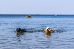 3K4A6174 (olailagus) Tags: dogs labradorretriever labrador retriever goldenretriever golden finland swimming sea coast koira hund kultainennoutaja kultsu lapukka lmaxmo västerö ryssberget