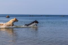 3K4A6168 (olailagus) Tags: dogs labradorretriever labrador retriever goldenretriever golden finland swimming sea coast koira hund kultainennoutaja kultsu lapukka lmaxmo västerö ryssberget