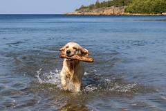 3K4A6159 (olailagus) Tags: dogs labradorretriever labrador retriever goldenretriever golden finland swimming sea coast koira hund kultainennoutaja kultsu lapukka lmaxmo västerö ryssberget