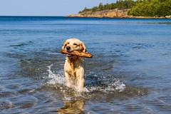 3K4A6158 (olailagus) Tags: dogs labradorretriever labrador retriever goldenretriever golden finland swimming sea coast koira hund kultainennoutaja kultsu lapukka lmaxmo västerö ryssberget