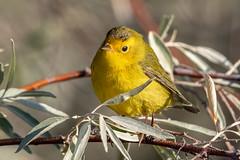 Wilson's Warbler (Gf220warbler) Tags: idaho warbler parukidae passerine songbird migrant