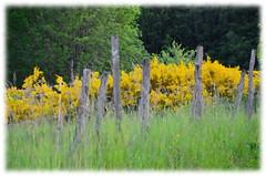 (Jean-Luc Léopoldi) Tags: peintureàlhuile impression campagne corrèze genets herbe clôture fence countryside