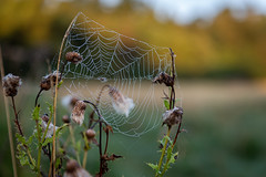 Spiders Web (jasty78) Tags: spidersweb spider web dew dewdrops cammoestate cammo edinburgh scotland morning goldenhour sun light nikon d810 nikond810 2470mm 62mm nikkor2470mm nikkor2470mmf28