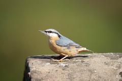 Nuthatch (Rob Whyles) Tags: canon eosr rspb middletonlakes britsh birds england wildlife nature wild nuthatch