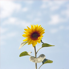 (Andrew :-)) Tags: bronicasqa kodakportra160 mediumformat 120 6x6 sunflower