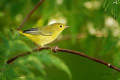 Yellow Warbler (lindapp57) Tags: yellowwarbler