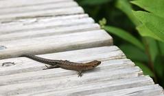 small lizard (helena.e) Tags: helenae semester vacation holiday älsa husbil rv motorhome storforsen ödla lizard