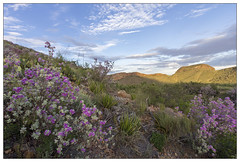 When the rains come ... (AnEyeForTexas) Tags: bbnp bloom fall leucophyllum cenizo barometerbush bigbendnationalpark chihuahuandesert monsoons desert