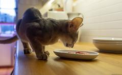 Winton Eats 2 (peter_hasselbom) Tags: cat cats kitten kittens abyssinian 15weeksold kitchen countertop eating mixedlight fujifilm 7300