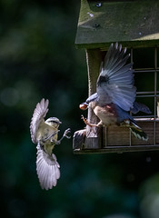 Altercation at the bird table (Sueyork58) Tags: fight nuthatch squabble gardenbirds bluetit