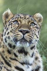 AMUR LEOPARD (psmifffy) Tags: canon5dmkiv bigcat doncaster yorkshirewildlifepark amurleopard