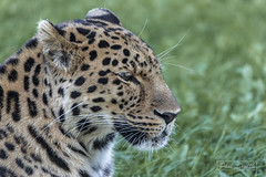 AMUR LEOPARD (psmifffy) Tags: sigma150500mm canon5dmkiv bigcat doncaster yorkshirewildlifepark amurleopard