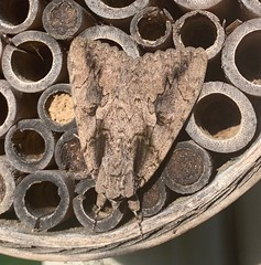Catocala amatrix - The Sweetheart - Hodges#8834 (Stylurus) Tags: michigan prairie oaks lodi township moth catocala amatrix the sweetheart hodges8834 underwing