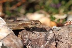 Hands free basking. (ChristianMoss) Tags: lacerta vivipara lizard zootoca common reptile eppingforest viviparous