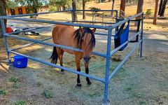 Brown Horse in... (ronking1) Tags: julian california unitedstatesofamerica