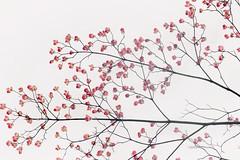 Estampe Japonaise II (mia depaola) Tags: pink colour eos dogwoodflowers minimalist outside nature