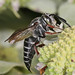 Say's Cuckoo Leaf-cutter Bee - Coelioxys sayi, Meadowood SRMA, Mason Neck, Virginia