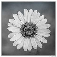 African Daisy (Ken Mickel) Tags: africandaisy beautiful floral flower flowers kenmickelphotography plants blackandwhite blossom blossoms closeup daisy nature photography