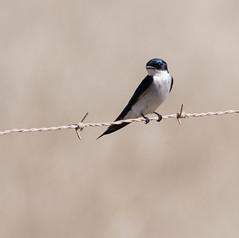 Pearl-breasted Swallow (Hirundo dimidiata)-2645 (Dave Krueper) Tags: africa aves bird birds hirundinidae landbird pbsw passeriformes passerine southafrica swallow