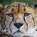 Close-up of a serious cheetah