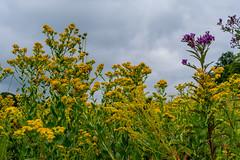 Prairie Flowers and Sky (ramseybuckeye) Tags: goldenrod prairie wildflowers sky clouds kendrick woods allen county ohio metropark pentax art life
