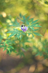 bee bed (glasskunstler) Tags: blossoms bee plant landscape nature abstract purple flowers artistic sigma50mm bokeh