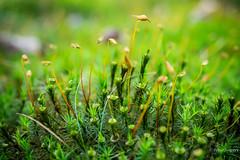 Tiny forest (Peter Jaspers) Tags: frompeterj© 2019 olympus zuiko omd em10 1240mm28 macro amerongsebos amerongen sbb staatsbosbeheer mos moss dof bokeh green tinyforest