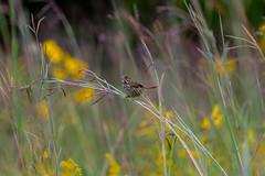 Song Sparrow in the Bush (ramseybuckeye) Tags: song sparrow prairie grass goldenrod kendrick woods allen county ohio metropark pentax art life