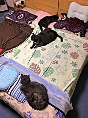Lining up Gray Cats (sjrankin) Tags: 8september2019 edited animal cat bonkers argent yuba bed bedroom pillows blankets kitahiroshima hokkaido japan hdr